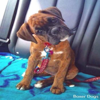 Boxer Dog Baby Awesome Boxer Puppy Training Products
