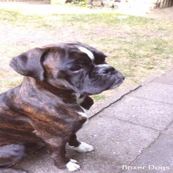 Boxer Dog Quotes All About Boxer Dog Training Hand Signals