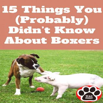 Here are some must know fun and interesting facts about Boxers that you may not know about.